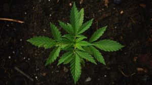 Aerial picture of a cannabis plant in the ground